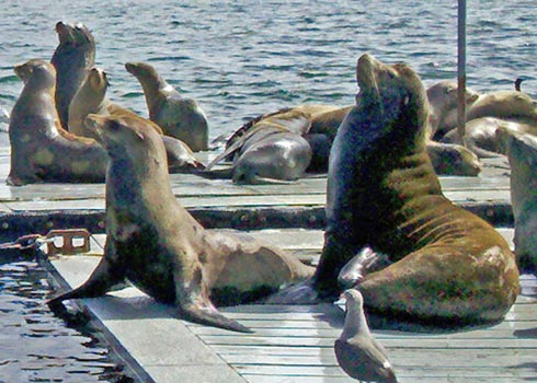 Sealions_Up_Close